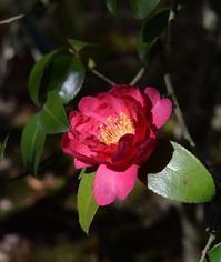 ◆花情報◆山茶花(さざんか) - 名鉄犬山ホテル情報