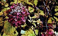 冬紫陽花 - A  B  C