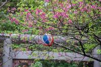 桜、咲き始めました - 僕のしおり