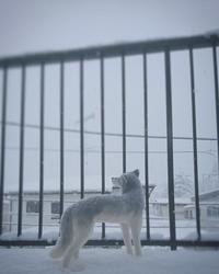 作品展のお知らせ - Aki  ~羊毛のオオカミたち~