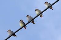 今日もレンジャク - 今日の鳥さんⅡ