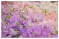 春のフリル。 - Yuruyuru Photograph