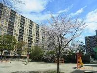 広場の桜 - Day by  day