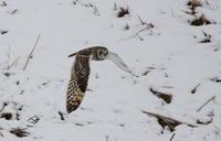 雪絡みのコミミズク - 私の鳥撮り散歩