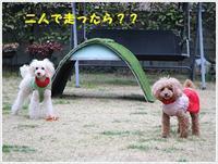 散歩の後も元気いっぱい庭で追いかけっこ、さくらも大も楽しそうだった~\(>∀<)/ - さくらおばちゃんの趣味悠遊