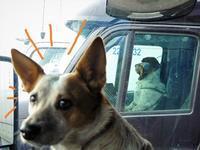 犬の運転手さん - 続・ふらふらなるままに。