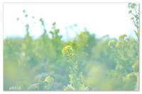 冬の菜の花畑。  - Yuruyuru Photograph