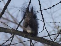 雪の中からクルミを見つけたエゾリス君 - ヒロムシ君のお散歩日記
