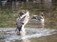 野川の鴨たち - 柳に雪折れなし!Ⅱ