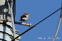 昨年の在庫から・・・「カラムクドリ」さん♪ - ケンケン&ミントの鳥撮りLifeⅡ