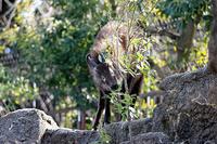 木の葉を食べる「ナギ」と「Q」 - 動物園放浪記