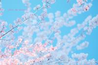 熱海桜 - Photographie de la couleur