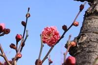 立春 - 都忘れと忘れな草