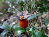 ナニワイバラの実 - だんご虫の花