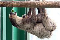 ナマケモノはお食事中 - 動物園放浪記
