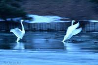 みちのく高松白鳥情景7 - みちのくの大自然