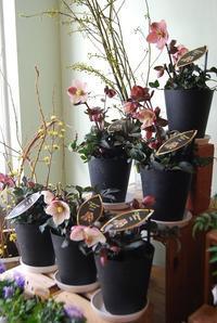 クリスマスローズ入荷しました! - 花と暮らす店 木花 Mocca