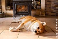 妊娠犬 - ノルマン犬猫日記