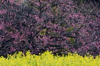 浜離宮菜の花と梅 - 錦眼鏡