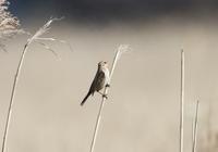 オオジュリンの飛び出し - 私の鳥撮り散歩