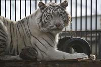 2018.2.3 宇都宮動物園☆ホワイトタイガーのシラナミ姫 <その2>【White tiger】 - 青空に浮かぶ月を眺めながら