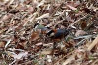 落ち葉の中で ミヤマホオジロ - 野山の住認たちⅡ
