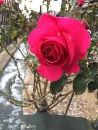 薔薇の剪定しなくっちゃ・・・ - 春&ナナと庭の薔薇