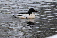 公園の池に カワアイサほかのカモ達 - 今日の鳥さんⅡ