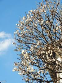 「梅の花」が開花始める - 【出逢いの花々】
