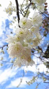 白桜に復興の祈り込めて。 - ライブ インテリジェンス アカデミー(LIA)