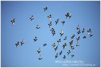 ハト群 - 明日には明日の風が吹く