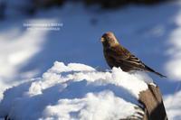 雪山ハギマシコ - 花野鳥風月MISCHEH