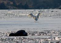 昼下がりの白鳥 - 鳥見って・・・大人のポケモン