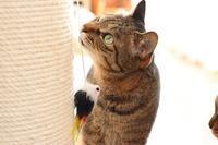極太猫爪とぎポール使い始めました(2) - きょうだい猫と仲良し暮らし