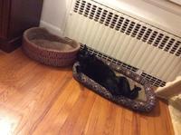 ネコ: 大雪警報中のヘソ天 - にゃんこと暮らす・アメリカ・アパート(その2)