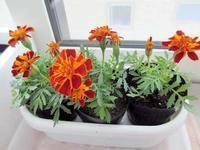 家の中で育ったお花 - 楽しい わたしの食卓