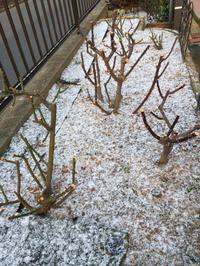 今朝6時の気温は−4℃ - 春&ナナと庭の薔薇