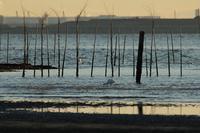 ★西なぎさでクロツラヘラサギ - 葛西臨海公園・鳥類園Ⅱ