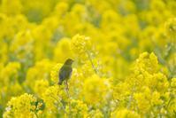 二宮の吾妻山菜の花とメジロ達♪ - エーデルワイスPhoto