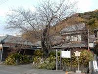 今日の河津桜原木 - 白壁荘だより  天城百話