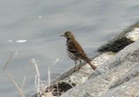 タヒバリ・キンクロハジロ・コガモ・・・多摩川 - 浅川周辺探鳥散歩