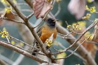 2月10日 今日はカワアイサを狙うも遠くイマイチでした、帰りにK公園で撮り鳥、カワアイサは後日に! - 鳥撮り日誌