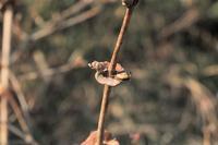 ■冬芽・葉痕 (11)18.2.10(ウグイスカグラ、ムクゲ、コブシ) - 舞岡公園の自然2