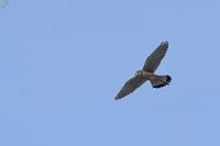 青空を舞う チョウゲンボウ - 野鳥公園