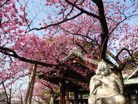 一足早い桜を見に♪品川区の荏原神社の寒緋桜♪冬散歩2月 - ルソイの半バックパッカー旅