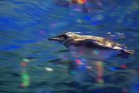 泳ぐペンギン - Today's one photograph