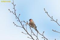 雪の中の鳥 - 奥武蔵の自然