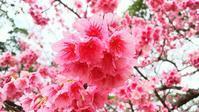 今帰仁城跡と満開の桜 ◆沖縄の旅③◆ - Emily  diary