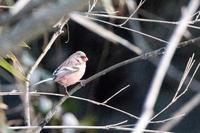 いろいろな野鳥の食事〜久しぶりの再会、ベニマシコ - うちのまわりの自然新聞