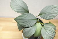 "Homalomena sp. ""Sibolga"" - PlantsCade -2nd effort"